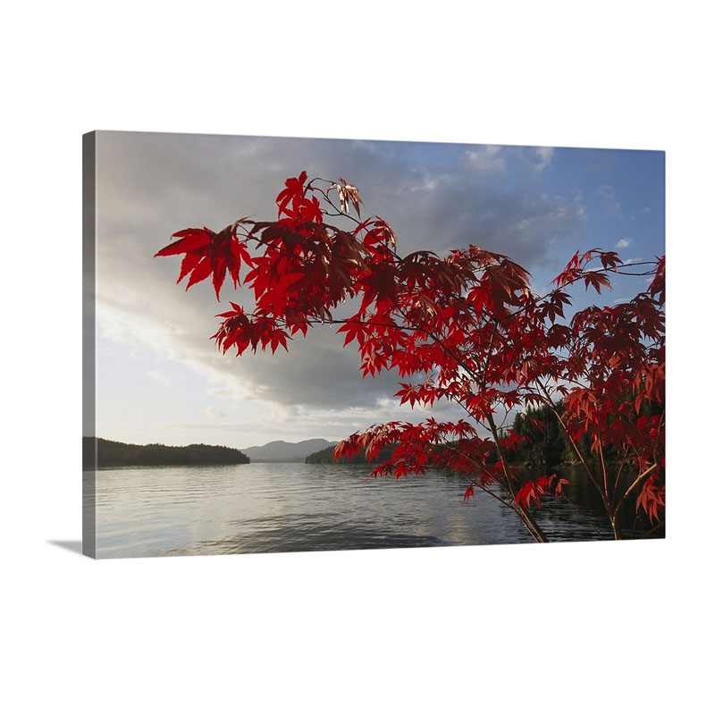 A Maple Tree In Fall Foliage Frames A View Of Barnard Harbour Princess Royal Island British Columbia Canada Wall Art - Canvas - Gallery Wrap