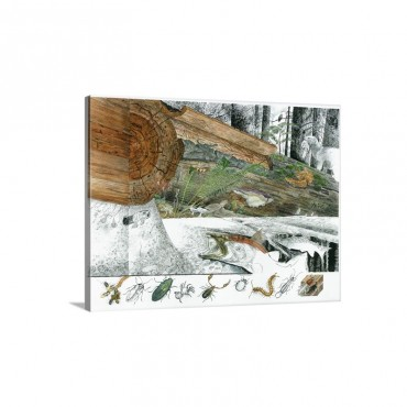 A Cutaway Painting Of The Ecosystem Around A Dead Douglas Fir Log Wall Art - Canvas - Gallery Wrap
