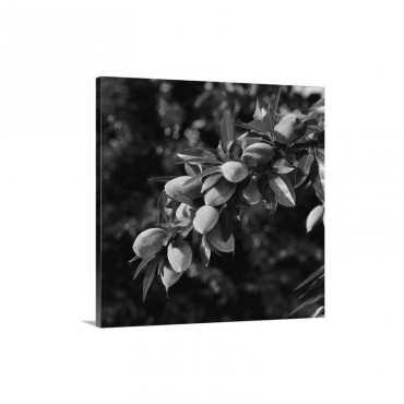 An Almond Tree Branch With Spring Foliage Growth And A Healthy Crop Of Mid Growth Nuts Wall Art - Canvas - Gallery Wrap