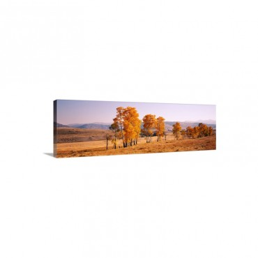 Aspen Trees In A Row On A Landscape Lamar Valley Yellowstone National Park Wyoming Wall Art - Canvas - Gallery Wrap