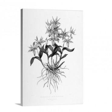 Barkeria Spectabilis Wall Art - Canvas - Gallery Wrap
