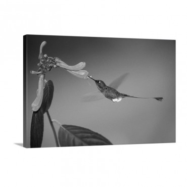 Booted Racket Tail Hummingbird Wall Art - Canvas - Gallery Wrap