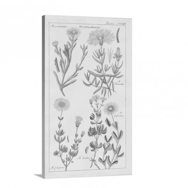Geraniaceae Plate 4 Wall Art - Canvas - Gallery Wrap
