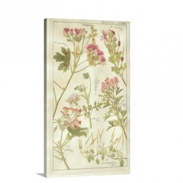 Geraniaceae Plate 323 Wall Art - Canvas - Gallery Wrap