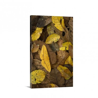 Imperial Moth Eacles Imperialis Camouflaged In Leaf Litter In Rainforest Wall Art - Canvas - Gallery Wrap