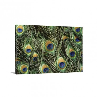 Indian Peafowl Pavo Cristatus Display Feathers Native To India And Southeast Asia Wall Art - Canvas - Gallery Wrap