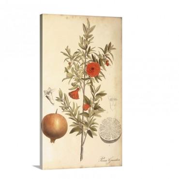 Pomegranate Botanical Wall Art - Canvas - Gallery Wrap