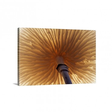 Porcelain Mushroom Or Poached Egg Fungus Detail Of Gills On The Underside Europe Wall Art - Canvas - Gallery Wrap