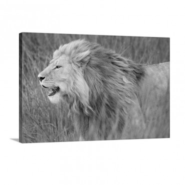 Side Profile Of A Lion In A Forest Ngorongoro Conservation Area Tanzania Panthera Leo Wall Art - Canvas - Gallery Wrap