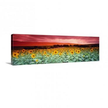 Sunflowers Corbada Spain Wall Art - Canvas - Gallery Wrap