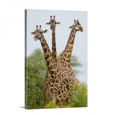 Three Masai Giraffe Standing In A Forest Lake Manyara Lake Manyara National Park Tanzania Giraffa Camelopardalis Tippelskirchi Wall Art - Canvas - Gallery Wrap
