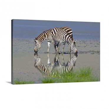 Two zebras Drinking Water From A Lake Ngorongoro Conservation Area Arusha Region Tanzania Equus Burchelli Chapmani Wall Art - Canvas - Gallery Wrap