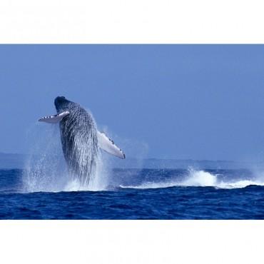 Hawaii Maui Humpback Whale