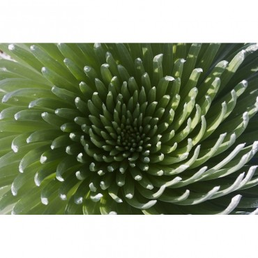 Hawaii Maui Haleakala National Park Close Up Of The Rosette Of A Silversword