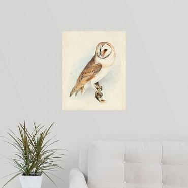 Meyer Barn Owl